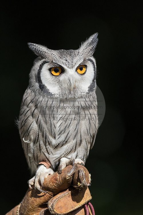 Southern white-faced owl at the Center for Birds of Prey November 15, 2015 in Awendaw, SC.