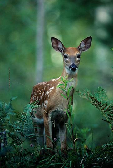 Whitetail Deer, (Odocoileus virginianus) Portrait fawn. Wisconsin.