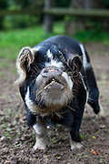 Fat bellied pig sow, Coony Coony breed from New Zealand, at Ferme de l'Eglise, Normandy, France