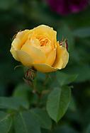 Rosa 'Graham Thomas' a deep yellow rose