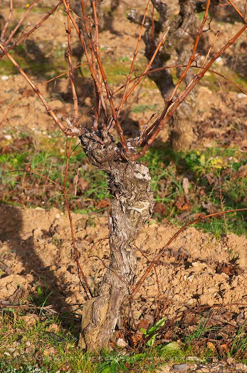 Domaine Piccinini in La Liviniere Minervois. Languedoc. Vines trained in Gobelet pruning. Terroir soil. France. Europe. Vineyard.
