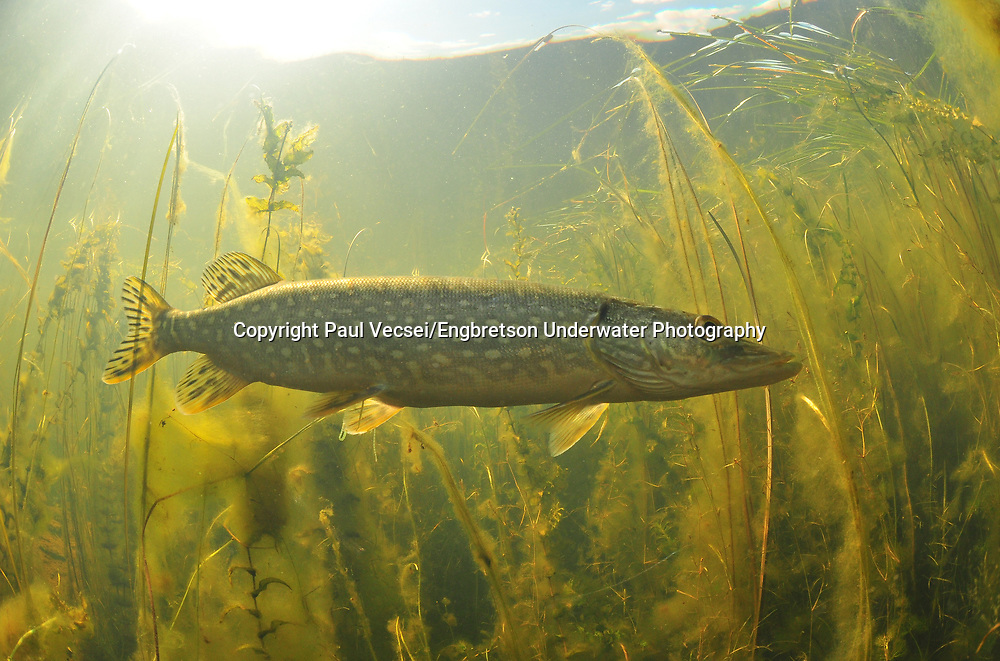 Northern Pike<br /> <br /> Paul Vecsei/Engbretson Underwater Photography