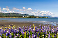 Arctic Lupine (Lupinus arcticus) line the Homer Spit along Kachemak Bay in Southcentral Alaska. Summer. Afternoon.