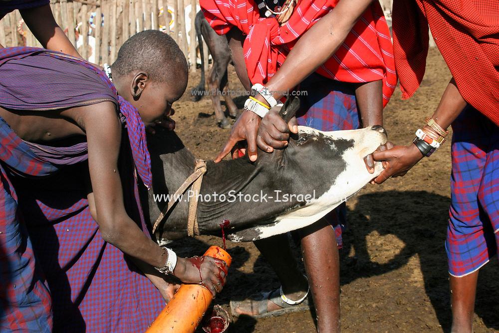 Africa, Tanzania, Lake Eyasi, Maasai men bleeding a cow to produce the Blood Milk they drink. an ethnic group of semi-nomadic people