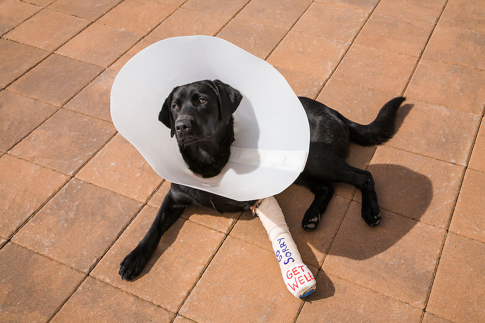 Black Labrador Retriever named, Blue, in a head bucket and cast after a leg injury skiing.  Licensing and Open Edition Prints.
