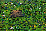 water lilies (Nymphaea odorata) and rock<br />