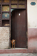 A dog looks curiously out of a doorway of an old house, Havana old town.