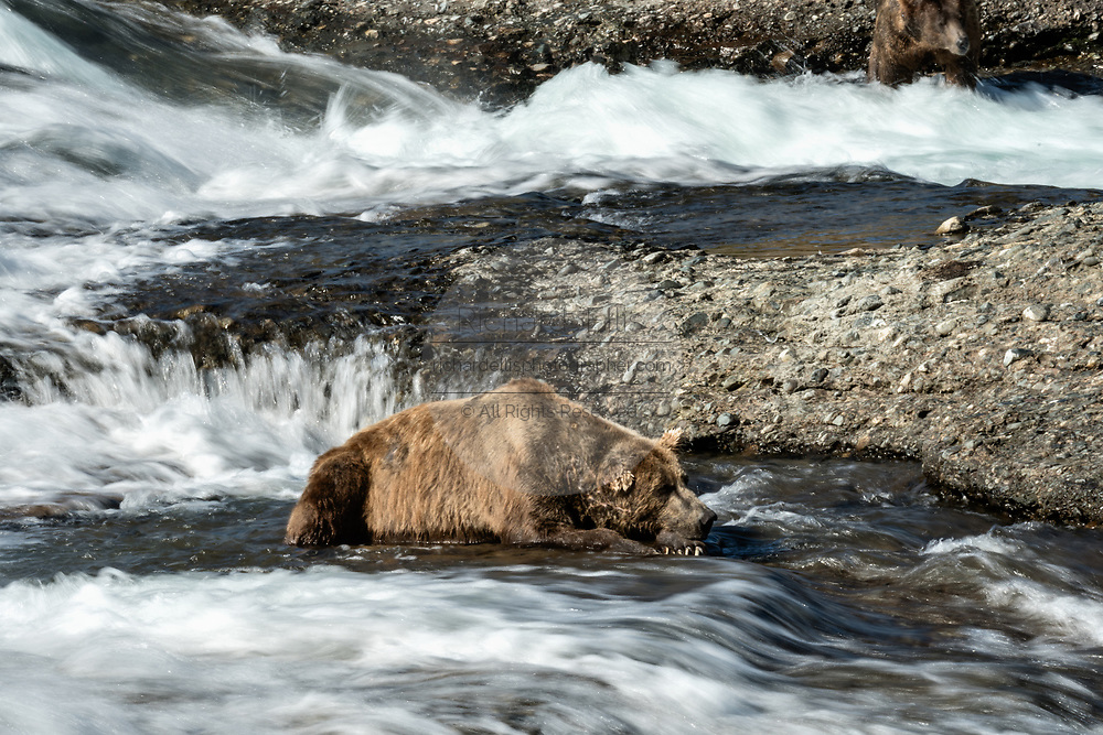 An elderly adult grizzly bear boar known as Ears rests in water of the upper McNeil River falls at the McNeil River State Game Sanctuary on the Kenai Peninsula, Alaska. The remote site is accessed only with a special permit and is the world's largest seasonal population of brown bears.