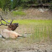 large bull elk in wallow bugling mud on antlers