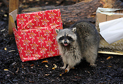 © Licensed to London News Pictures. 11/12/2012. Bristol, UK. Christmas presents for animals at Bristol Zoo, with boxes containing food.  Picture of Rocky the racoon.  11 December 2012..Photo credit : Simon Chapman/LNP