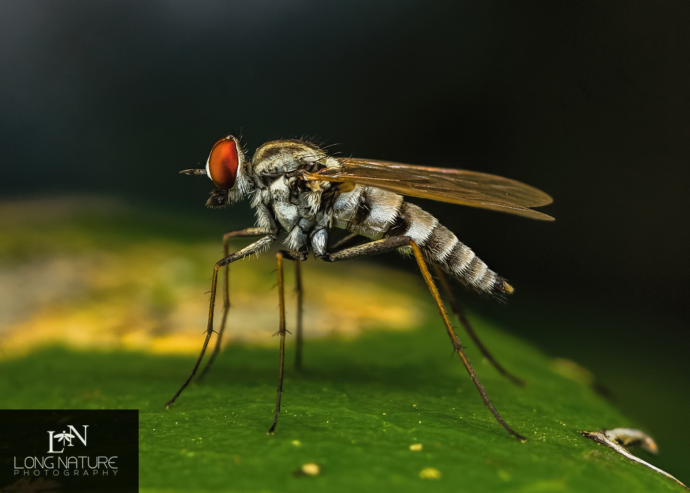 This is a stiletto fly - Therevidea, specifically Penniverpa festina. Photographed in Lady Lake. About 5 mm long.