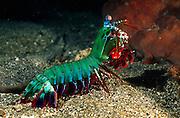 Mit seinem aufgerichteten Vorderkörper und seiner Gesamtlänge von bis zu 15 cm ist der Bunte Fangschreckenkrebs (Odontodactylus scyllarus) eine imposante Erscheinung. [size of single organism: 13 cm] | Peacock mantis shrimp large male (Odontodactylus scyllarus)