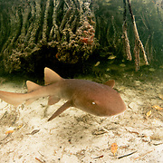 A baby nurse shark (Ginglymostoma cirratum), or pup, swims in a mangrove forest. The little sharks take advantage of the many places to hide in mangroves or under rocks. Image made in Bimini, Bahamas.