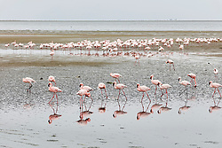 Flock of Flamingos on Walvis Bay, Namibia, Africa