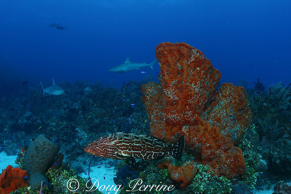 black grouper, Mycteroperca bonaci, with Caribbean reef sharks, C. perezi, & orange elephant ear sponges, Agelas clathrodes, Bahamas ( Western Atlantic Ocean )