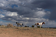Wild horses run free near Crownpoint, New Mexico in the Navajo Nation.