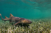 Nurse Shark (Ginglymostoma cirratum) & Sharksucker (Echeneis naucrates)<br /> Marine Megafauna Research. Large marine fish, sharks, rays & turtles.<br /> MAR Alliance<br /> Halfmoon Caye<br /> Lighthouse Reef Atoll<br /> Belize<br /> Central America