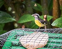 Bananaquit (Coereba flaveola). Asa Wright Nature Centre, Trinidad, Image taken with a Nikon D3s camera and 70-300 mm VR lens.