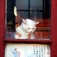 Asia, China, Beijing. A cat, held by a hand, watches the street from a window in the hutongs.