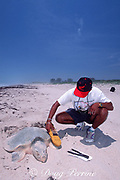 biologist uses microwave scanner to read P.I.T. tag (rice-grain-sized internal tag that emits i.d. # when scanned) on Kemp's ridley sea turtle, Rancho Nuevo, Mexico ( Gulf of Mexico / Western Atlantic Ocean )