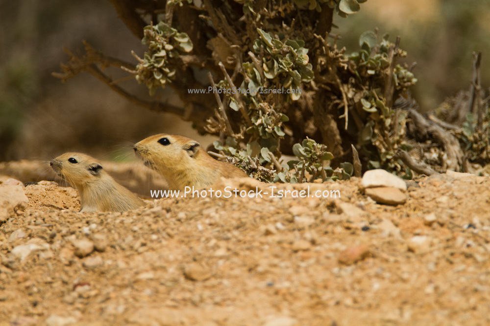 Fat sand rat (Psammomys obesus). This terrestrial rodent is mostly found in North Africa and the Middle East, ranging from Mauritania to the Arabian Peninsula. Phtographed in Israel, Ramon crater, Negev desert