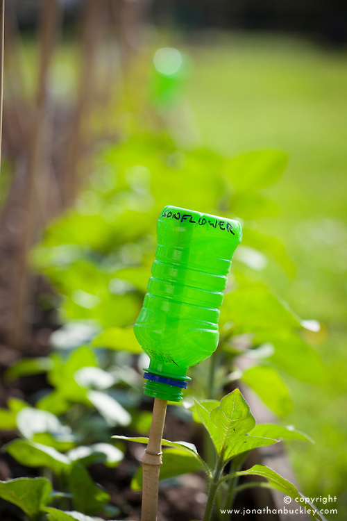 Bottle on cane used to protect eyes and label row of sunflowers