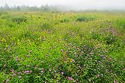 Thistles ((Cirsium) sp.) at Pond Cove<br />Brier Island<br />Nova Scotia<br />Canada