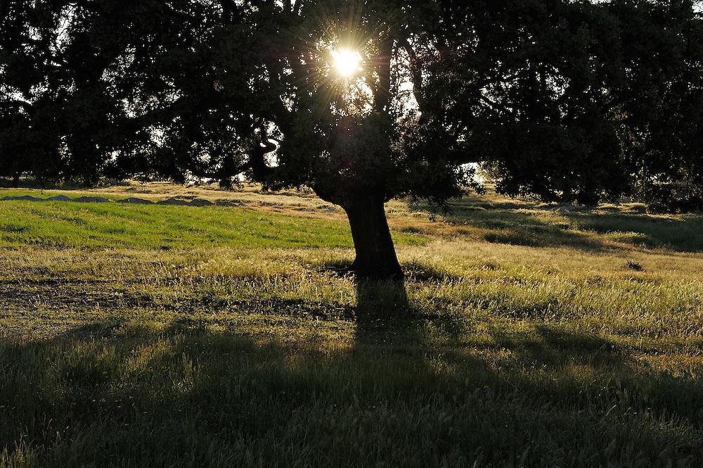 Holm oak, Quercus ilex, Dehesa landscape <br /> Campanarios de Azába reserve, Salamanca Region, Castilla y León, Spain