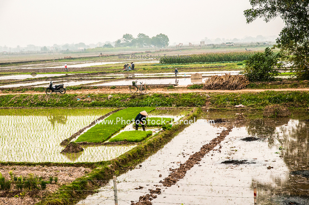 Agricultural workers harvesting rice in the rice paddies in North Vietnam (near Hanoi)