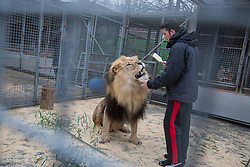 """Big Cats Trainer and Presenter Alexander Lacey brushes the mane of lion Masai before a performance.<br /> Ringling Bros. and Barnum & Bailey Circus started in 1919 when the circus created by James Anthony Bailey and P. T. Barnum merged with the Ringling Brothers Circus. Currently, the circus maintains two circus train-based shows, the Blue Tour and the Red Tour, as well as the truck-based Gold Tour. Each train is a mile long with roughly 60 cars: 40 passenger cars and 20 freight. Each train presents a different """"edition"""" of the show, using a numbering scheme that dates back to circus origins in 1871 — the first year of P.T. Barnum's show."""