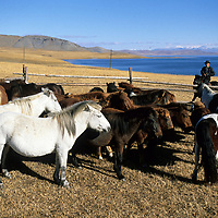 Mongolia, Darhad Valley. A herder with his horses by Lake Dood Nuur.