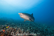large female tiger shark, Galeocerdo cuvier, with a remora or sharksucker on its chin, Honokohau, Kona, Big Island, Hawaii, USA ( Central Pacific Ocean )