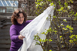 Covering pear blossom with horticultural fleece to protect from late spring frosts