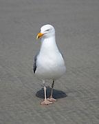 A grumpy-looking Herring Gull walks straight toward the camera.