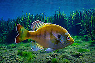 Florida Bluegill<br /> <br /> Isaac Szabo/Engbretson Underwater Photography