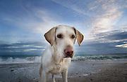 golden labrador dog on a beach<br />