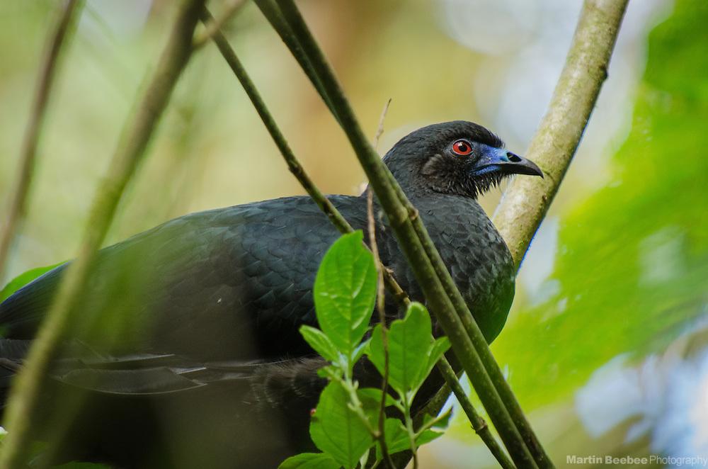 Black Guan (Chamaepetes unicolor), near Santa Elena, Costa Rica
