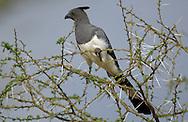 Go-Away Bird, Corythiaxoides leucogaster, Tarangire NP, Tanzania