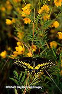 03009-00118 Black Swallowtail (Papilio polyxenes) on Bur Marigold (Bidens aristosa), Marion Co.   IL