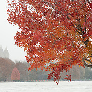 A red maple tree at the Great Lawn in Central Park is still in full color during an early snowfall.