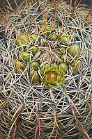 Barrel Cactus (Ferocactus cylindraceus) flowers, Anza-Borrego Desert State Park California