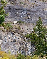 Mountain Goat, Banff National Park