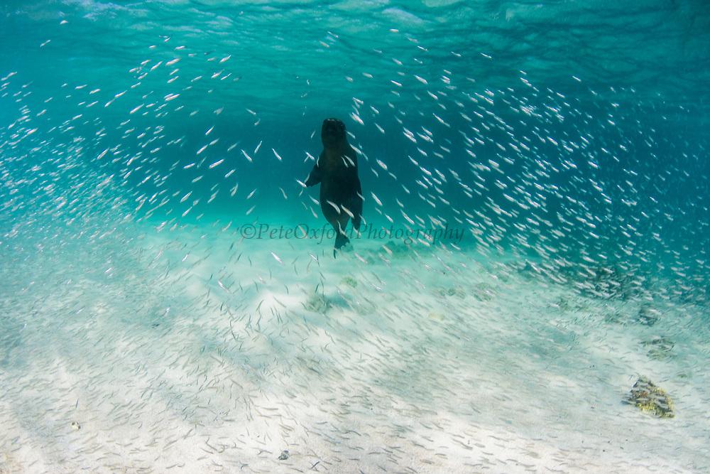 Galapagos Sealion (Zalophus wollebaeki)<br /> Bartolome Island<br /> GALAPAGOS ISLANDS<br /> Pacific Ocean<br /> ECUADOR.  South America