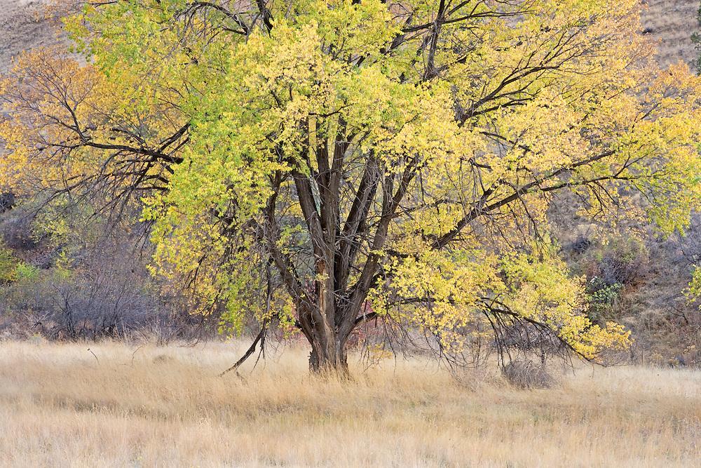 Autumn Black Locus Tree, Oregon