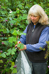 Taking semi ripe cuttings from tender perennials. (Amicia zygomeris). Taking cuttings and placing in a dry plastic bag. Demonstrated by Kathleen Leighton, nursery manager at Great Dixter