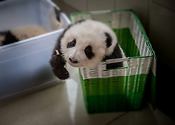 A baby captive bred panda sits in a basket as it is moved from a building at the panda breeding center of Bifengxia Panda Base<br /> in Ya'an, Sichuan, China.