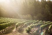 2015 Harvest at Chehalem's Corral Creek Vineyard in Newberg, OR