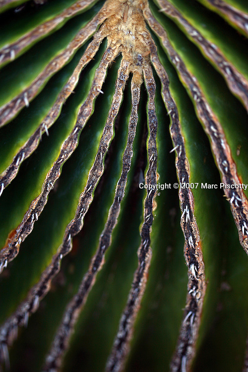 SHOT 12/18/2007 - Detail of a giant barrel cactus (Biznaga gigante). A cactus (plural cacti, cactuses or cactus) is any member of the succulent plant family Cactaceae, native to the Americas. They are often used as ornamental plants, but some are also crop plants. Cacti are distinctive and unusual plants, which are adapted to extremely arid and hot environments, showing a wide range of anatomical and physiological features which conserve water. Their stems have expanded into green succulent structures containing the chlorophyll necessary for life and growth, while the leaves have become the spines for which cacti are so well known. Cacti come in a wide range of shapes and sizes. The Desert Botanical Garden is a 50 acre (20 ha) botanical garden located within Papago Park in Phoenix, Arizona, USA. Founded in 1939, the garden now has more than 21,000 plants, including 139 species which are rare, threatened or endangered. Of special note are the rich collections of agave (176 taxa) and cacti (10,350 plants in 1,350 taxa), especially the Opuntia sub-family. The Desert Botanical Garden has been designated as a Phoenix Point of Pride..(Photo by Marc Piscotty/ © 2007)