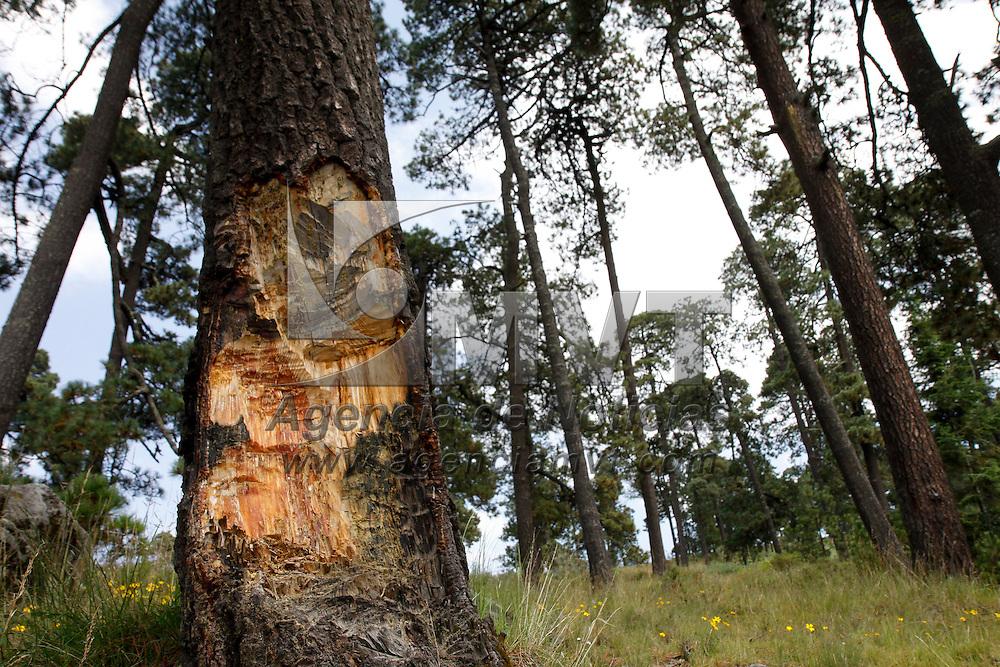 Toluca, Méx.- Con la Modificación de estatus del Nevado de Toluca, en el cual se deroga la categoría de Reserva Natural Protegida que el Xinantécatl tenía desde 1936, autoridades federales insistieron en que se recuperara el parque, el cual presenta diversos grados de afectación en su zona forestal, erosión; provocado por la tala ilegal, el cambio de uso de suelo, como el pastoreo y actividades agrícolas, entre otros.  Agencia MVT / Crisanta Espinosa