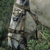 A small Peruvian horse wears a homemade ornamental bridle and halter in the Cordillera Vilcabamba, Peru.